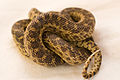 Gopher Snake Pituophis catenifer 05.jpg