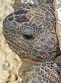 Gopher Tortoise - Gopherus polyphemus, Lake June-in-Winter Scrub State Park, Lake Placid, Florida - 31462830010.jpg