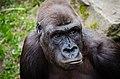 Gorilla (13645147193).jpg