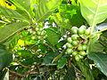 Grano de café Gaitania.JPG