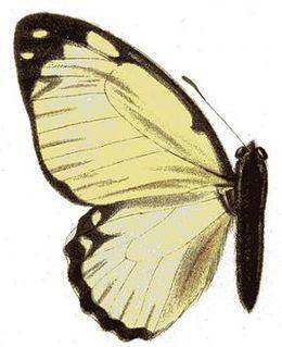 <i>Graphium levassori</i> species of insect