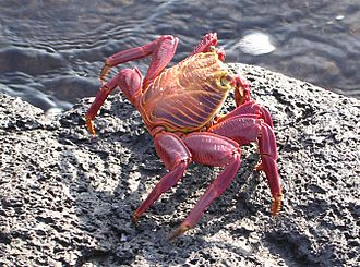 The Log from the Sea of Cortez - ''Sally Lightfoot'' crabs were common on the shores of the Gulf, but difficult to catch. Tiny declared war on them after slipping while trying to catch a specimen.