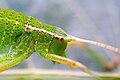 Grasshopper head macro.jpg