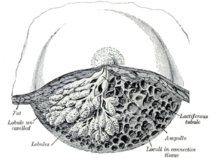 Dissection of a lactating breast.