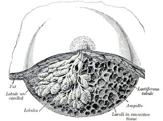 Exocrine gland - Image: Gray 1172