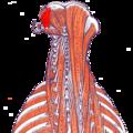 Gray — musculus obliquus capitis superior.png