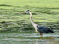Great Blue Heron (7617641524).jpg