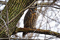 Great Horned Owl (Bubo virginianus) (16816337005).jpg
