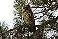 Great Horned Owl fledgling doing good! (13915285675).jpg