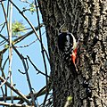 Great spotted woodpecker Dendrocopos major pinetorum in Downhills Park, Haringey London England 2.jpg