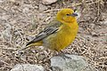 Greater Yellow-finch.jpg