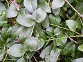Greater periwinkle leaves (3545921716).jpg