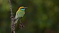 Green-bee eater at IIT Delhi.jpg