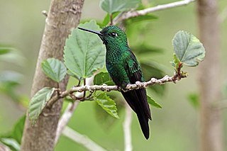 Green-crowned brilliant species of bird