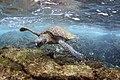 Green Sea Turtle (31041167548).jpg
