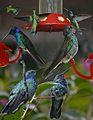 Green Violetear From The Crossley ID Guide Eastern Birds.jpg