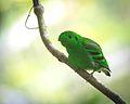 Green broadbill.jpg