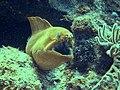 Green moray (Gymnothorax funebris) 7.JPG