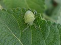 Green stink bug (Nezara viridula) at Madhurawada India 02.JPG