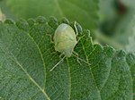 Green stink bug (Nezara viridula) at Madhurawada India 02.JPG