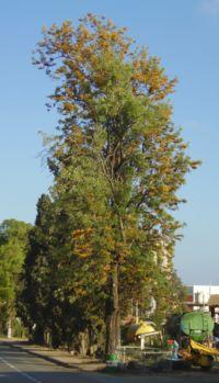 Grevillea robusta flowering in Gan Shmuel01