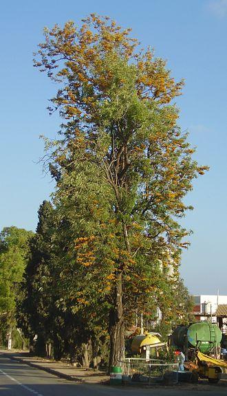 Grevillea robusta - Image: Grevillea robusta flowering in Gan Shmuel 01