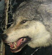 This facial expression is defensive and gives warning to other wolves to be cautious.