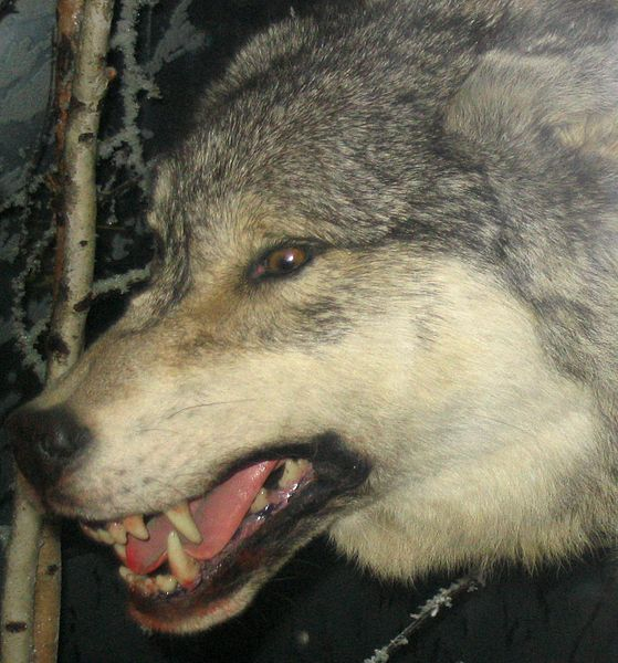 http://upload.wikimedia.org/wikipedia/commons/thumb/d/da/Grey_Wolf_3.jpg/559px-Grey_Wolf_3.jpg