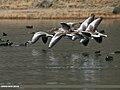 Greylag Goose (Anser anser) (22989381044).jpg