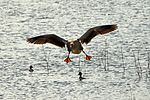 Greylag Goose - RSPB Minsmere (17068301285).jpg