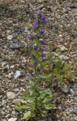 Grossenlueder Mues Kalkberge Echium vulgare.png