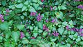 Ground Cover (2) (2761263575).jpg