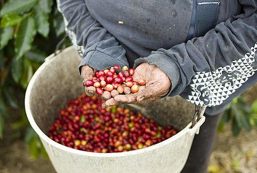 Growing Kona Coffee (5077083991)