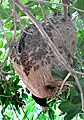 Guaya-wasp-nest.jpg