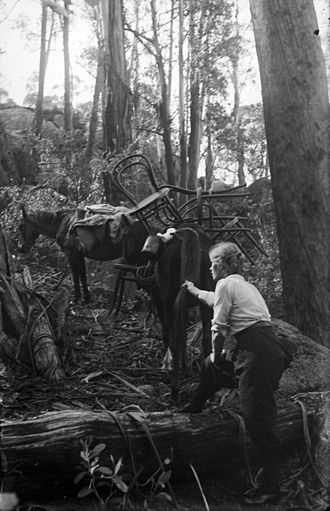Packhorse - Mountain guide Alice Manfield using packhorses to carry wooden chairs up Mt Buffalo, c. 1912