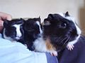 Guinea Pigs 2006.jpg