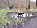 Guinness doing what Guinness does best - getting muddy^ - geograph.org.uk - 350609.jpg