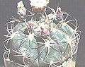 Gymnocalycium pflanzii v. albipulpa.jpg