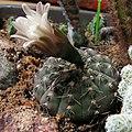Gymnocalycium stellatum.jpg