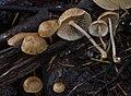 Gymnopus subpruinosus (Murrill) Desjardin, Halling & Hemmes 569851 crop.jpg