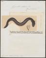 Gymnotus electricus - 1825-1837 - Print - Iconographia Zoologica - Special Collections University of Amsterdam - UBA01 IZ15100125.tif