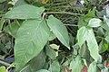 HK 上環 Sheung Wan 差館上街 Upper Station Street green leaves 合果芋 Syngonium podophyllum Jan-2018 IX1.jpg