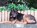 HK Tai Hang 銅鑼灣道 Tung Lo Wan Road 大坑福德古廟 Fuk Tak Temple dog July 2019 SSG 01.jpg