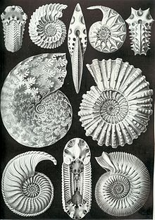 Ammonite - Wikipedia, the free encyclopedia