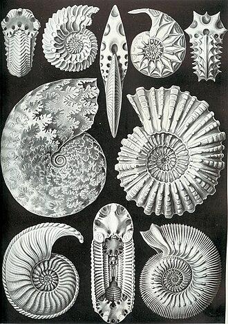 Suture (anatomy) - A variety of ammonite forms, from Ernst Haeckel's 1904 Kunstformen der Natur (Artforms of Nature).