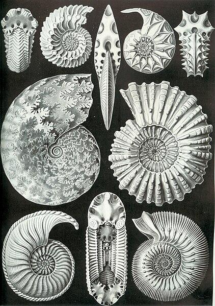 Urzeit-Quiz - Seite 4 422px-Haeckel_Ammonitida