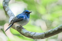 Hainan-blue-flycatcher.jpg