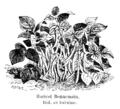 Haricot Bonnemain Vilmorin-Andrieux 1904.png