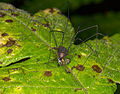 Harvestman from Ecuador (14743458601).jpg