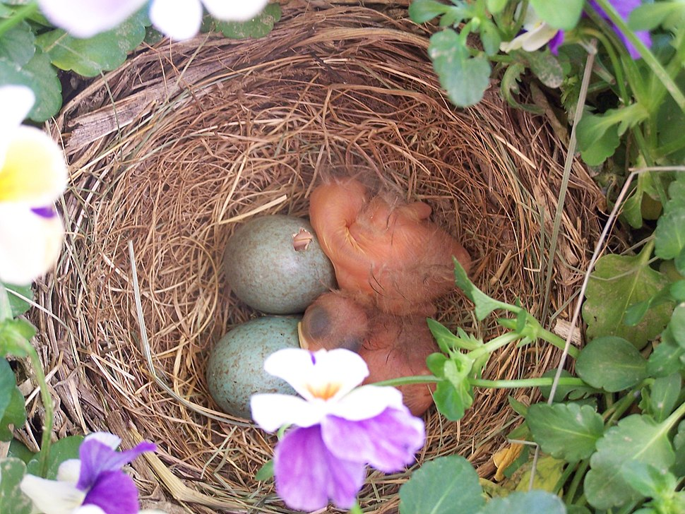 Hatchling birds in nest with eggs